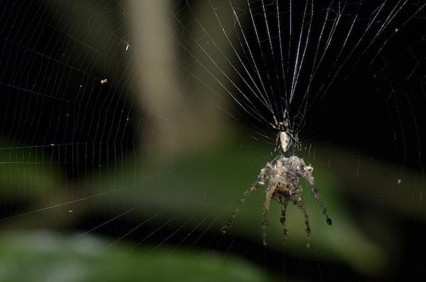 编织 蜘蛛/2012/12/29 12:40 | 作者:bolvar | 关键字:科学,wired,琥珀化石,...